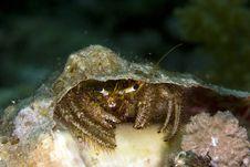 Free Reef Hermit Crab (dardanus Lagopodes) Royalty Free Stock Photos - 5014478