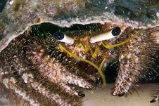 Free Reef Hermit Crab (dardanus Lagopodes) Stock Images - 5014484