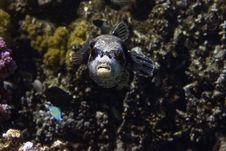 Free Masked Puffer (arothron Diadematus) Royalty Free Stock Photo - 5014485