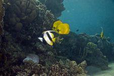 Masked Butterfly Fish (Chaetodon Semilarvatus) Royalty Free Stock Image