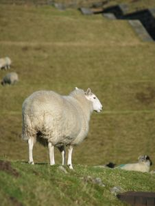 Free Sheep In A Field Stock Images - 5014674