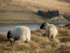 Free Sheep In A Field Royalty Free Stock Photos - 5014678