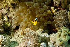 Free Bubble Anemone And Anemonefish Stock Photo - 5015290