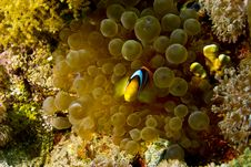 Free Bubble Anemone And Anemonefish Stock Photography - 5015302