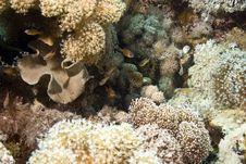 Free Yellow-striped Cardinalfish (apogon Cyanosoma) Royalty Free Stock Photography - 5015327