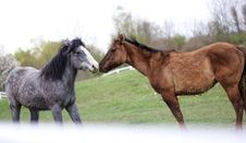 Two Loving Horses Royalty Free Stock Image