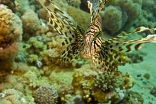 Free Lionfish (pterois Miles) Royalty Free Stock Image - 5015426