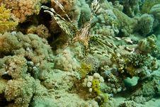 Free Lionfish (pterois Miles) Royalty Free Stock Photo - 5015435