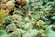 Free Lionfish (pterois Miles) Royalty Free Stock Photography - 5015437