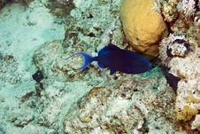 Free Redtooth Triggerfish (odonus Niger) Royalty Free Stock Photo - 5015635