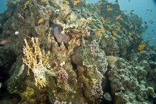 Giant Moray (gymnothorax Javanicus) Royalty Free Stock Photos