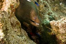 Giant Moray (gymnothorax Javanicus) Royalty Free Stock Images