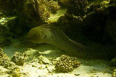 Giant Moray (gymnothorax Javanicus) Stock Photography