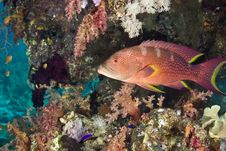 Lyretail Grouper (variola Louti) Stock Photography