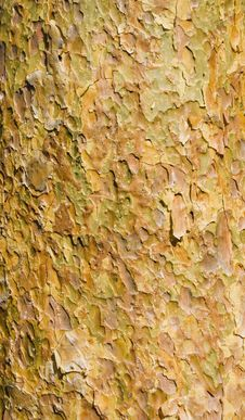 Free Pine Bark Stock Photo - 5016180