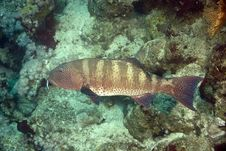 Free Red Sea Coralgrouper (Plectropomus Pessuliferus) Stock Photos - 5016193