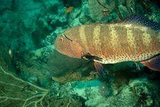Free Red Sea Coralgrouper (Plectropomus Pessuliferus) Stock Photography - 5016202