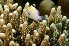 Red Sea Dascyllus (dascyllus Marginatus) Royalty Free Stock Image