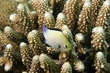 Red Sea Dascyllus (dascyllus Marginatus) Stock Photo