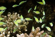 Free Bluegreen Chromis (chromis Viridis) Royalty Free Stock Photo - 5016475