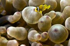 Free Red Sea Anemonefish Juv. (Amphipiron Bicinctus) Royalty Free Stock Photos - 5016508