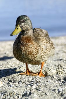 Free Curious Duck Royalty Free Stock Photography - 5016517