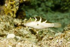 Free Crowned Toby (canthigaster Coronata) Stock Image - 5016541