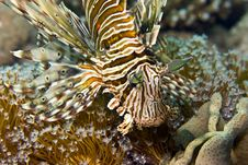 Free Common Lionfish (pterois Miles) Stock Photography - 5016602