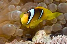 Free Bubbleanemone And Anemonefish Royalty Free Stock Photography - 5016667