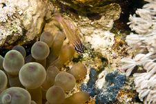 Free Yellow-striped Cardinalfish ( Apogon Cyanosoma) Stock Photography - 5016712