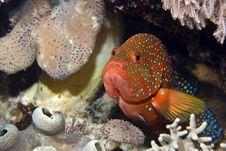 Free Coral Hind (cephalopholis Miniata) Royalty Free Stock Photos - 5016838
