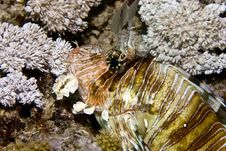 Free Common Lionfish (pterois Miles) Stock Images - 5016864