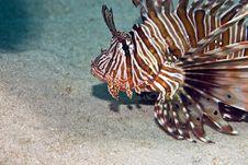 Free Common Lionfish (pterois Miles) Stock Image - 5016871