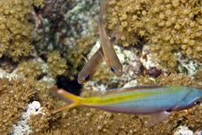 Free Yellow-striped Cardinalfish ( Apogon Cyanosoma) Royalty Free Stock Images - 5016879