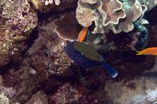 Bluetail Trunkfish (ostracion Cyanurus) Stock Image