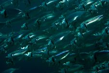 Free Striped Mackerel (rastrelliger Kanagurta) Stock Image - 5016961