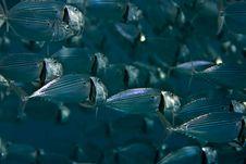 Free Striped Mackerel (rastrelliger Kanagurta) Royalty Free Stock Photos - 5017088