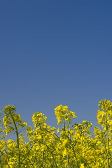 Free Oilseed Rape Field During Summer With Blue Sky Royalty Free Stock Images - 5017139