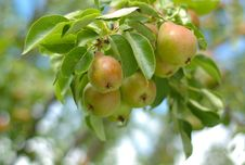 Fresh Pears On A Tree Stock Photo