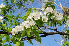 Free Blossoming Branch Stock Photos - 5017313