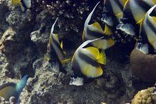 Free Red Sea Bannerfish (heniochus Intermedius) Royalty Free Stock Photo - 5017955