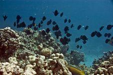 Free Manyspine Cherubfish (centropyge Multispinis) Stock Photography - 5018112