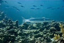Blackfin Barracuda (sphyraena Qenie) Royalty Free Stock Photos