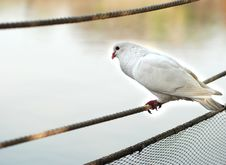 Free A Pigeon Rests On A Rope Stock Image - 5018591