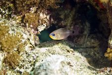 Free Aqaba Cardinalfish (cheilodipterus Lachneri) Royalty Free Stock Photography - 5018717