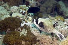 Free Masked Puffer (arothron Diadematus) Royalty Free Stock Photo - 5018795