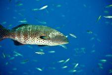 Free Red Sea Coralgrouper (Plectropomus Pessuliferus) Stock Images - 5018984