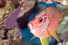 Free Longjawed Squirrelfish (sargocentron Spiniferum) Royalty Free Stock Photo - 5019295
