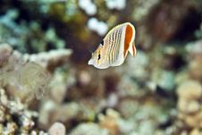 Free Crown Butterflyfish (chaetodon Paucifasciatus) Royalty Free Stock Images - 5019299