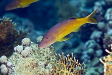 Free Red Sea Goatfish (parpeneus Forsskali) Royalty Free Stock Image - 5019386